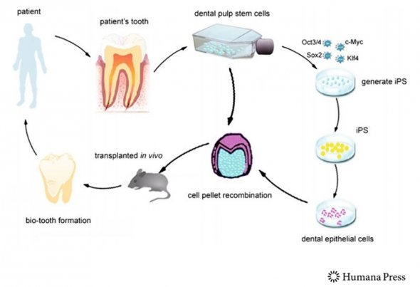 dentistry-stem cells
